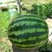 Продам Семена арбуза. Сорт «Кримсон Свит»